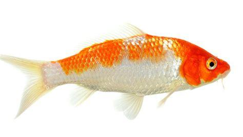 un pez dos pez 1930332831 191 cu 225 les son los mejores peces de agua fr 237 a bekia mascotas