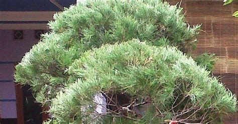 Bibit Pohon Cemara Udang tukang taman murah rumput vetiver tanaman hias biji rumput grass seed pohon cemara udang