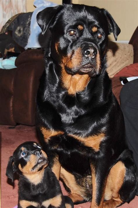 soul rottweiler rescue best 25 rottweiler pups ideas on rottweiler puppies rottweiler and baby