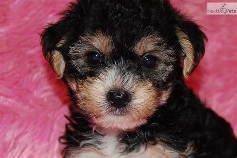 yorkie poo breeders bay area yorkie puppies breeds picture