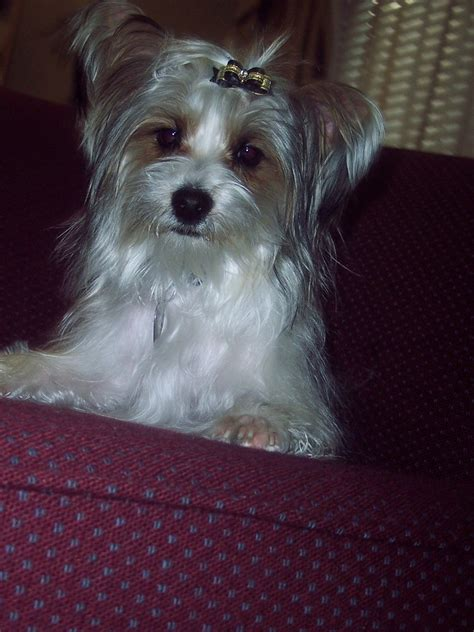 my baby yorkie paws dogs for sale my baby yorkie paws