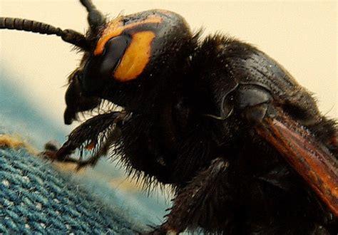 imagenes de langostas negras la nueva caravana la abeja reina