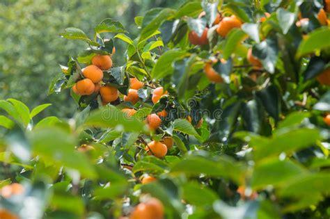 Keset Kaki Printing Fruits Berkualitas thailand persimmon tree stock photo image of 45233306