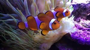 el pez payaso y la an 233 mona youtube