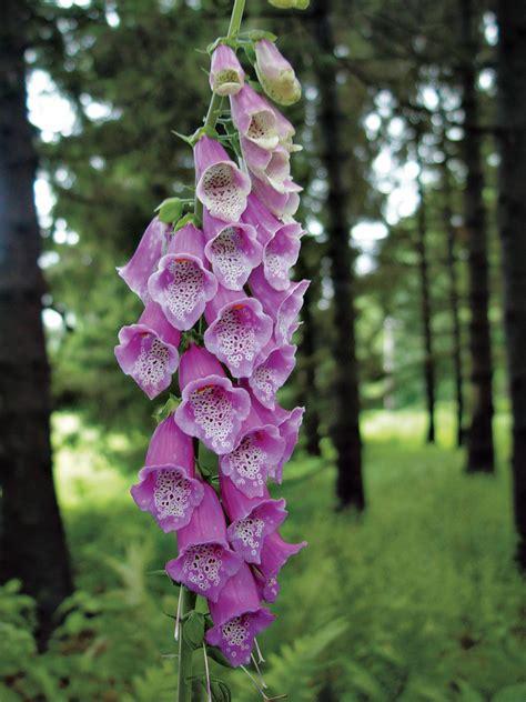 Hgtv Magazine 30 Days Of Thanks Giveaways - foxglove flower of the day hgtv