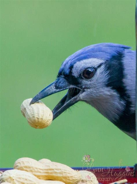 blue jay eating peanuts bond of feathered freinds