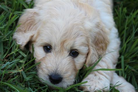 what are puppies lealta groodle mini groodle puppies for sale