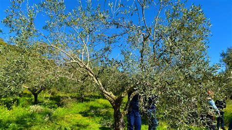 potatura olivo vaso policonico corso sul sistema di potatura ulivo a forma di