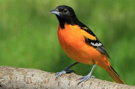 how to attract orioles attracting birds birds blooms