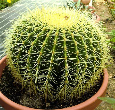 cuscino di suocera hortus italicus novembre 2011