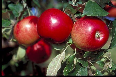 minnesota fruit trees state fair apple malus state fair in sauk centre