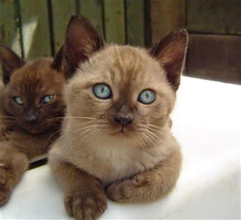 most loving breeds top 5 most affectionate cat breeds feline