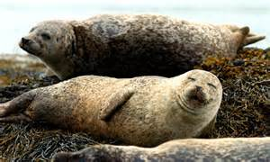 mystery corkscrew deaths of seals revealed as fatal