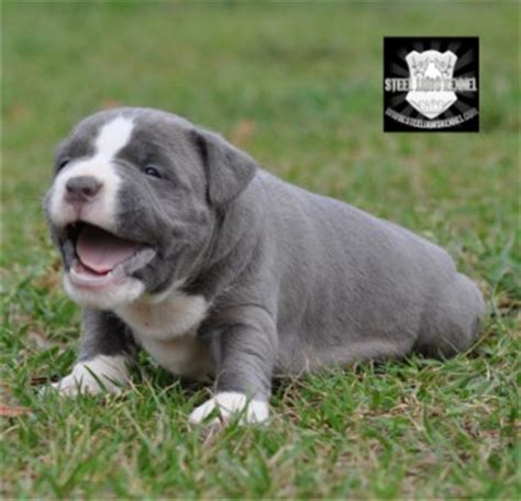 gotti razor edge pitbull puppies for sale nose razor edge pit bulls memes