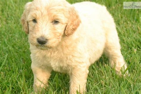miniature aussiedoodle puppies for sale aussiedoodle puppies for sale ohio breeds picture