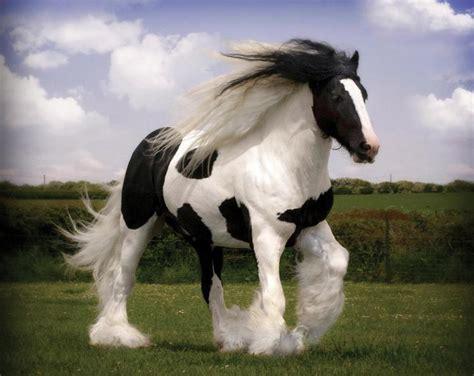imagenes increibles de caballos razas de caballos incre 237 bles y muchas curiosidades de