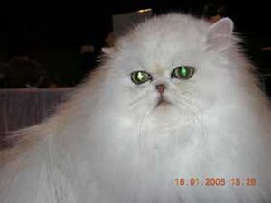 allevamento gatti persiani lombardia cercagatto lombardia lo allevamento gatti