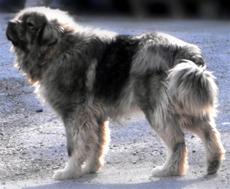 sarplaninac puppy saluki pictures posters news and on your