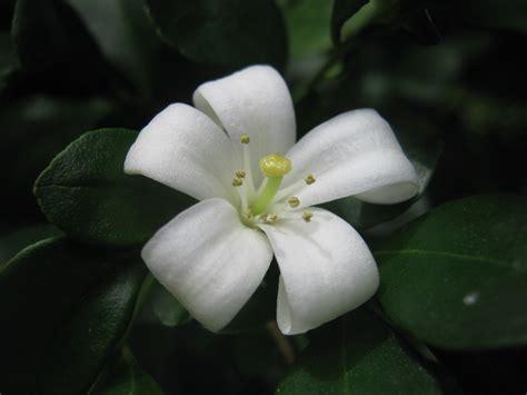 imagenes de flores jasmin archivo flor murraya manipulata jpg wikipedia la