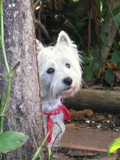 yorkie upset stomach 212 best images about westie photos on white terrier best dogs and