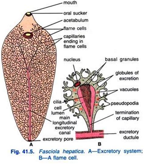labelled diagram of fasciola hepatica fasciola hepatica habitat structure and history