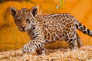 How Do Jaguars Babies Spot The Differences Between Leopards Jaguars And