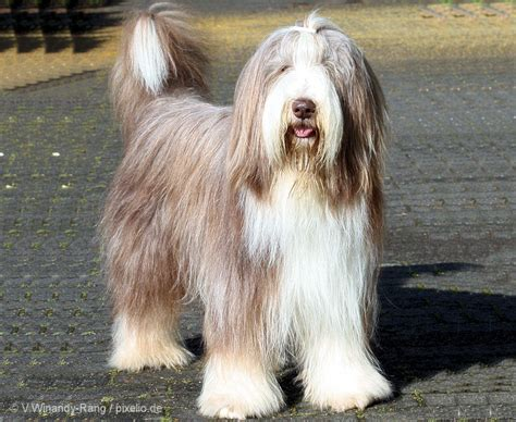 bearded collie puppy bearded collie pictures and informations breeds