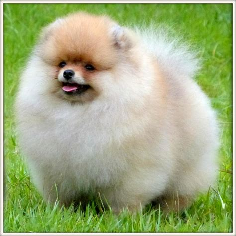 large pomeranians pin view large pomeranian puppies pet wallpapers on