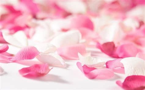 imagenes de rosas hd petalos de rosa rosada fondos de pantalla hd wallpapers hd
