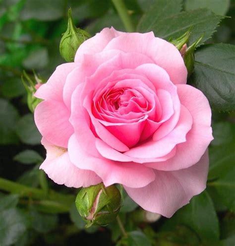 Jual Bibit Bunga Ros Jual Biji Benih Bibit Bunga Mawar Pink Pink Di Lapak Rumah Pohon Tutmeli