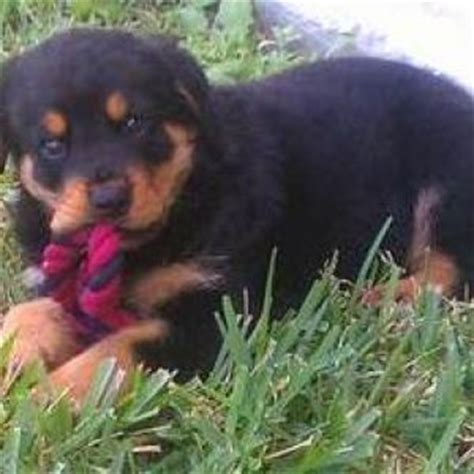 rottweiler toys rottweiler breed information and facts