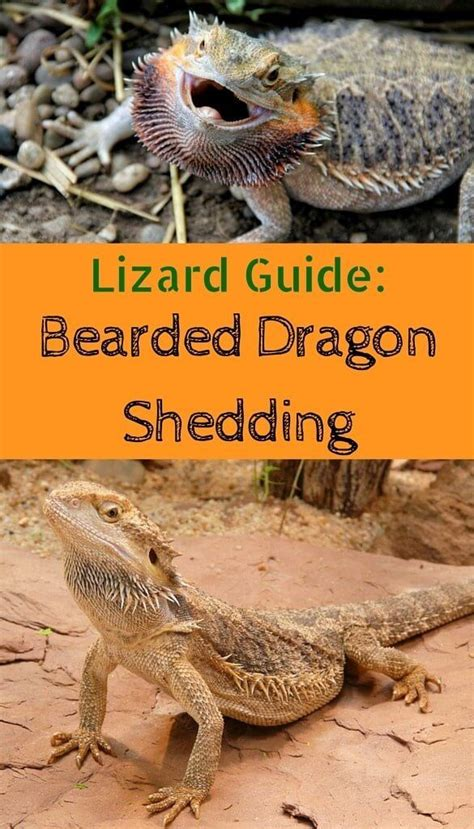 What To Do When Your Bearded Is Shedding by 25 Best Ideas About Bearded On Lizards