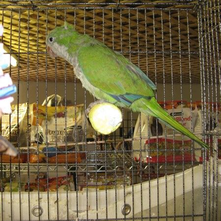 quaker parrot 130650 for sale in benson nc