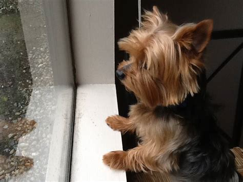 how to a yorkie to outside yorkie looking outside yorkiepassion
