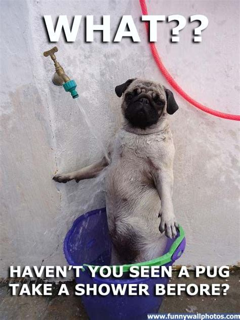 pugs with captions pug pictures with captions well this is the most thing that was