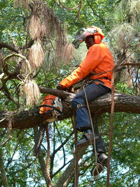 how to fell a tree in sections don s tree felling pruning and felling contractors
