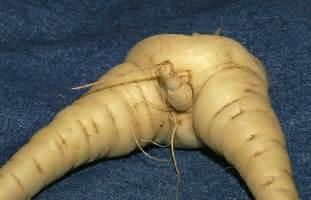Root Vegetable Looks Like Ginger - accidental penises on ur vegetables 187 vegan daemon