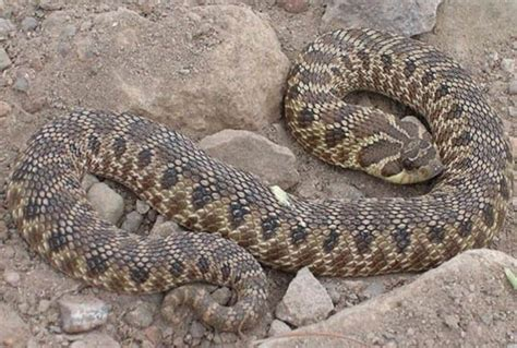 types of garden snakes dangerous snakes in arizona breeds picture