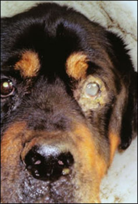 rottweiler eye infections news uk somerset rottweiler covered in sores
