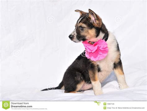 2 month puppy sweet two month puppy with stock photo image 13997120