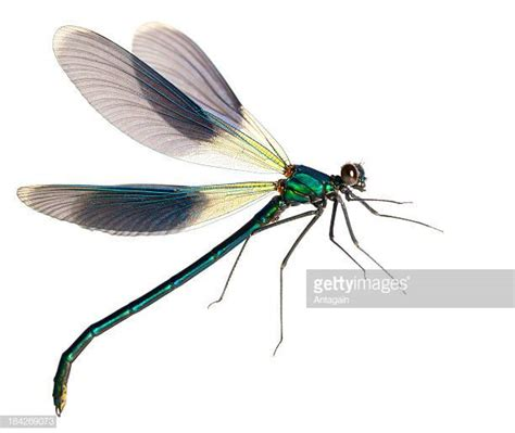 images of dragonflies dragonfly stock photos and pictures getty images