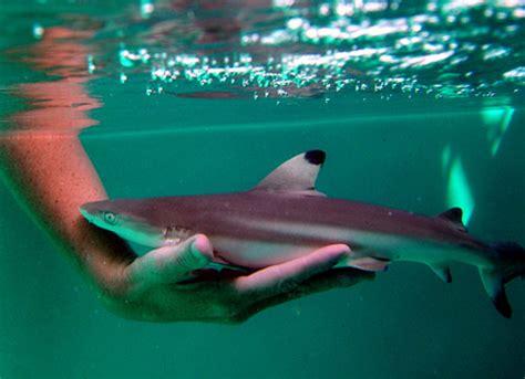 baby shark osu cuteness overload cute sharks baby shark shark and animal