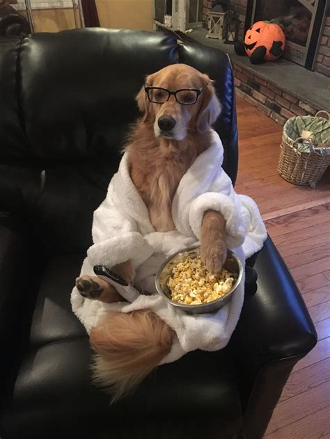 golden retriever halloween costume couch potato cani divertenti animali divertenti