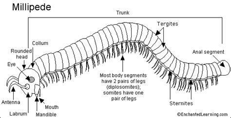 labelled diagram of a millipede millipede printout enchantedlearning