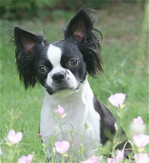 boston terrier and pomeranian mix puppies 14 boston terrier cross breeds you to see to believe