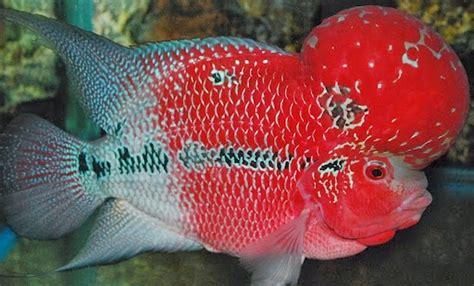 Pakan Ikan Louhan Hidup kasih jawaban lucu kenapa ikan lohan benjol