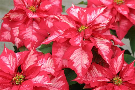 powell gardens blog meet the poinsettias of 2010