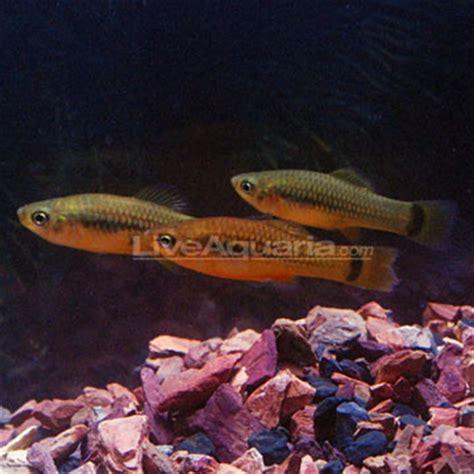 Feeder Platies tropical fish for freshwater aquariums feeder platies