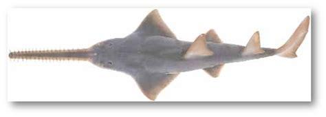Hiu Gergaji didi sadili ikan hiu terkait regulasi perdagangannya