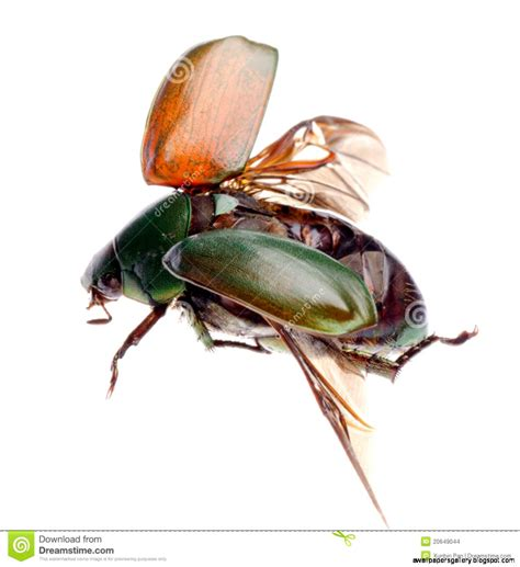 scarabeo volante flying beetle insect wallpapers gallery